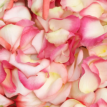 best-bi-color-rose-petals-globalrose